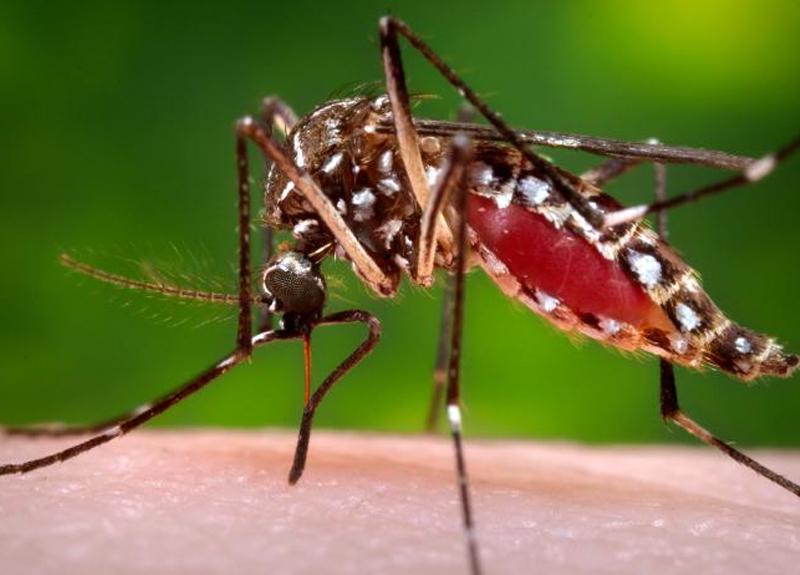 6.6.zika-mosquito-800x575px