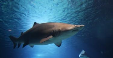 5.25.16.shark-in-ocean-3888x2592_81649