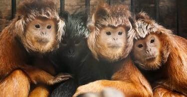 6.11.primates.javan-lutung-4212x2808_14367