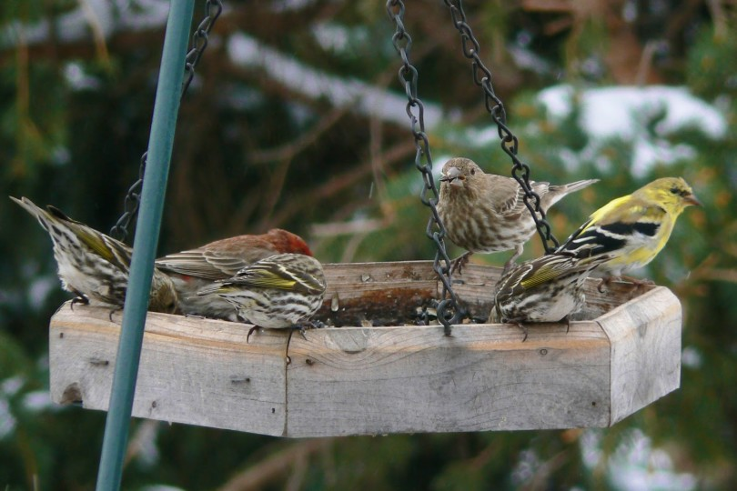 7.12.birds.Feeder Full of Finches 4-11-13 C