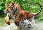 7.28.animals.why-are-bengal-tigers-endangered_d61e424a1f02acdc