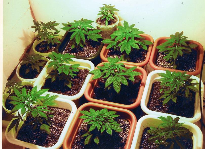 7.5.pot.marijuanaplantation